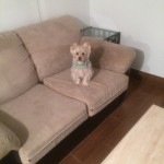 Joliet-Sofa-Pet-Stain-Cleaning